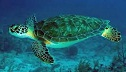 Picture of Green Sea Turtle