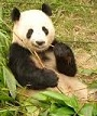 Picture of a panda